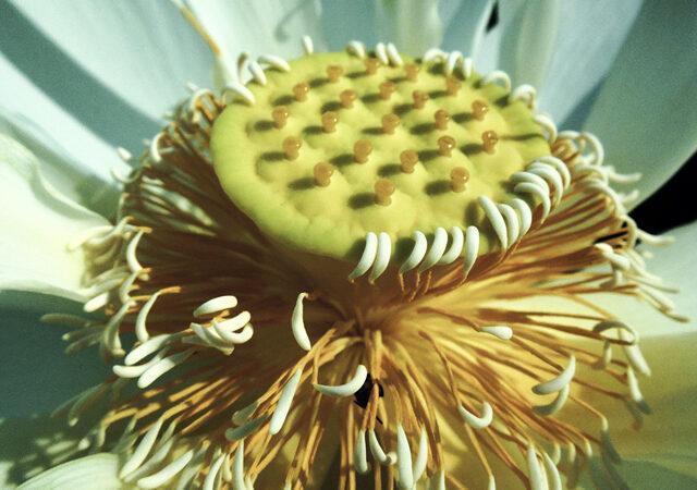 Lotus Blooms at Livefins Aquatics