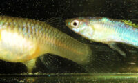 GUPPY BLUE FLASH 'Electra' Guppies by K TANAKA + 3 FRY with FREE SHIPPING