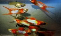 GUPPY Japan Blue Double Red Swordtail Guppies / 3 FRY / Ship'g Included