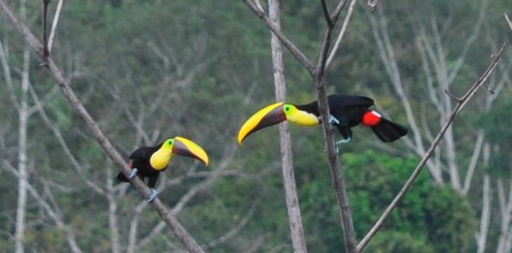 yellow billed toucan costa rica