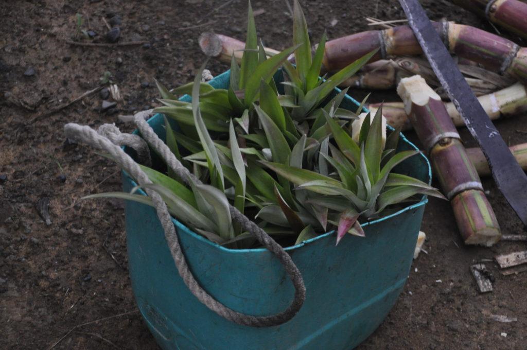 planting pineapple machete costa rica