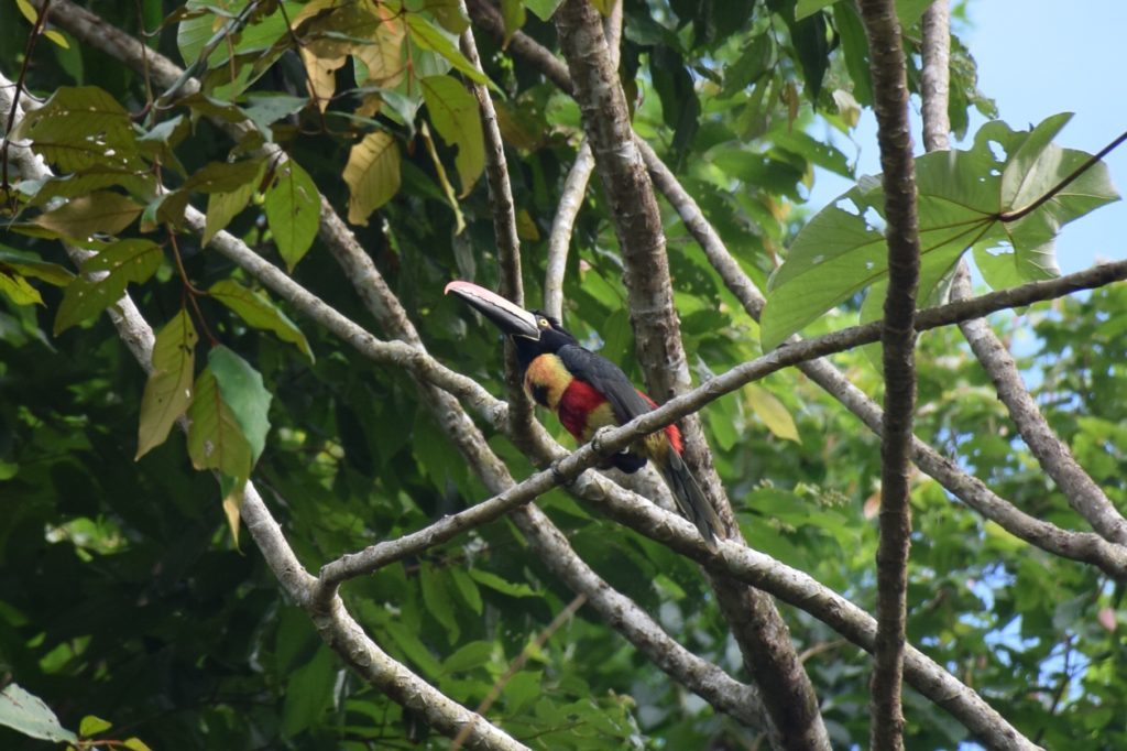 costa rica cusinga bird toucan