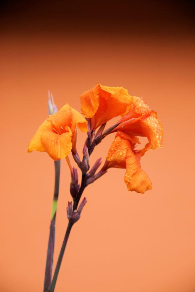 costa rica orange plant