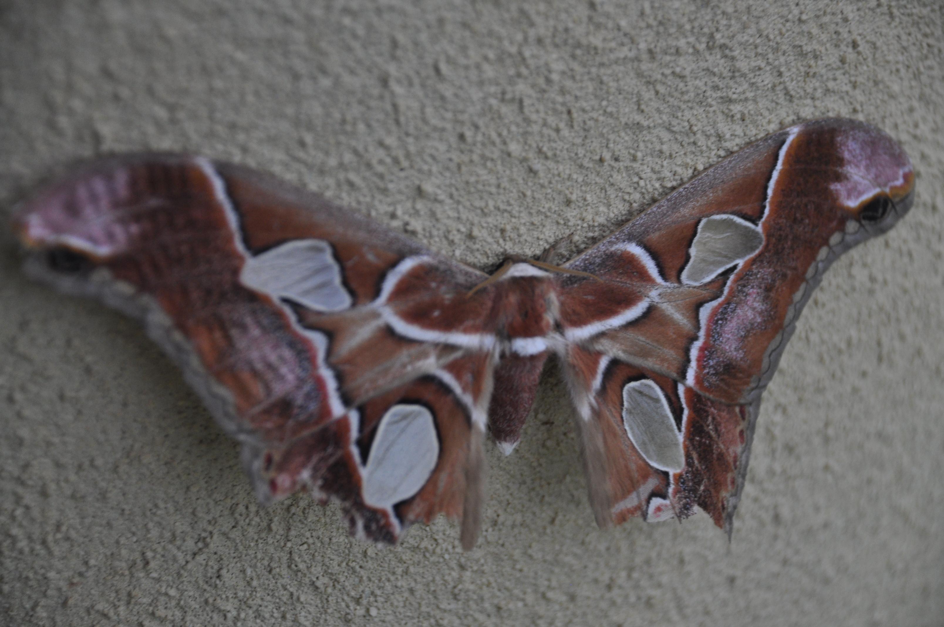 costa rica butterfly moth