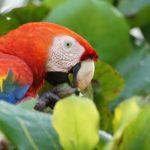costa rica bird macaw lapa hz
