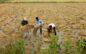 बेमौसम बारिश दो मजदूरों की मौत, सैकड़ों बीघा फसल बर्बाद