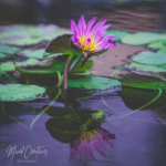 Water Lily Reflects
