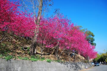 新社櫻花季健走迎春 定二月九日上午舉行