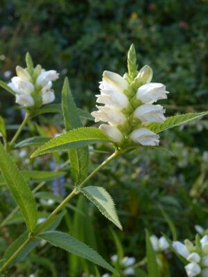 Chelone glabra White Turtlehead in flower
