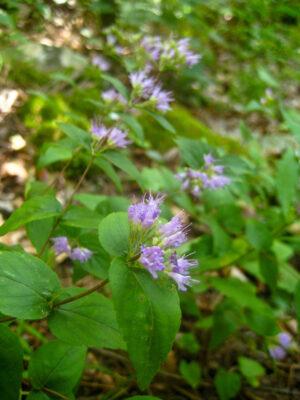 Cunila oreganoides Dittany flowers