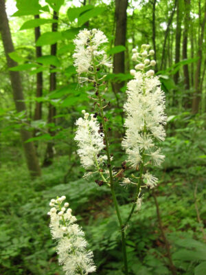 Actaea racemosa Black Cohosh in bloom
