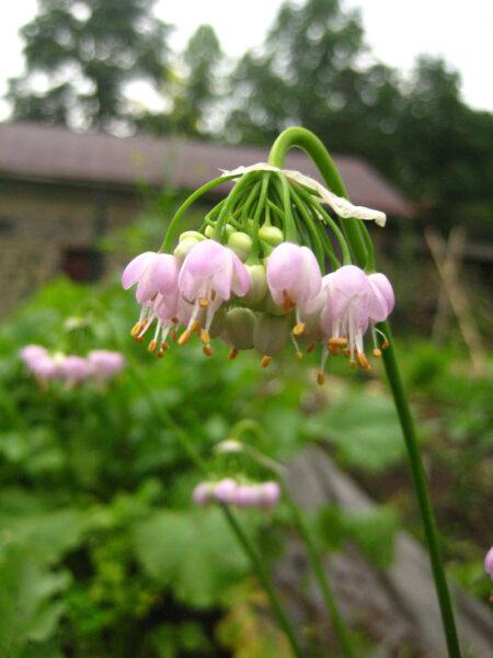 Allium cernuum Nodding Onion in bloom