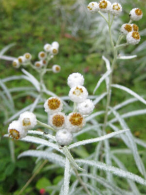 Anaphalis margaritacea Pearly Everlasting flower