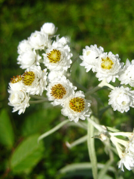 Anaphalis margaritacea Pearly Everlasting flowers