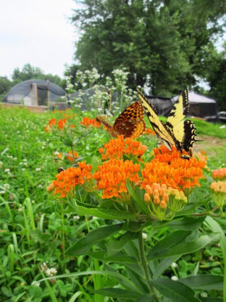Asclepias tuberosa Butterfly Milkweed with fritillary and tiger swallowtail butterfly
