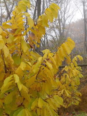 Asiminia triloba Pawpaw autumn foliage