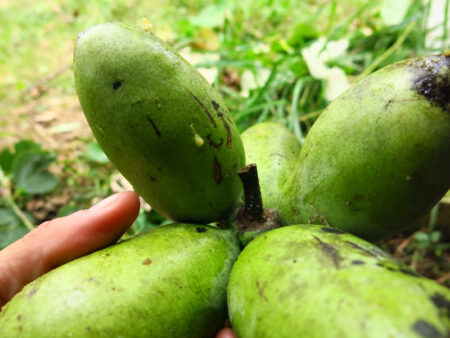 Asiminia triloba Pawpaw fruits