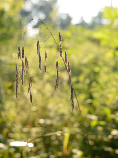 Bromus pubescens Hairy Woodland Brome seeds