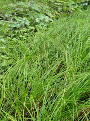Carex appalachica Appalachian Sedge foliage