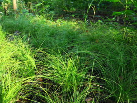 Carex appalachica Appalachian Sedge habit
