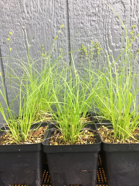 Carex rosea Rosy Sedge nursery containers