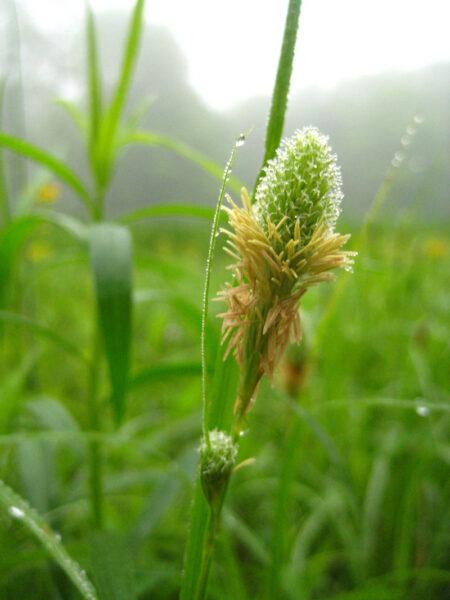 Carex squarrosa Squarrose Sedge flower