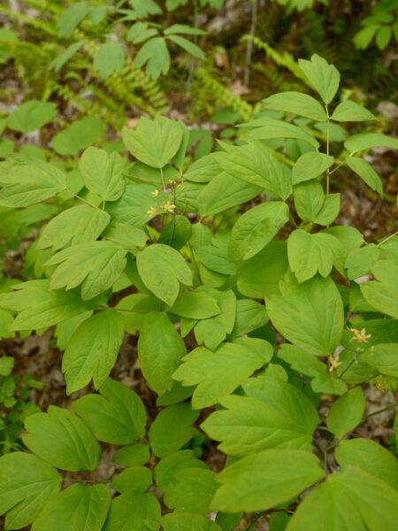 Caulophyllum thalictroides Blue Cohosh foliage
