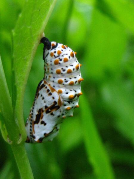 Chelone glabra Turtleheads Baltimore Checkerspot chrysalis