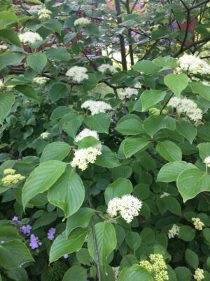 Cornus alternifolia Alternate Leaf Dogwood in bloom