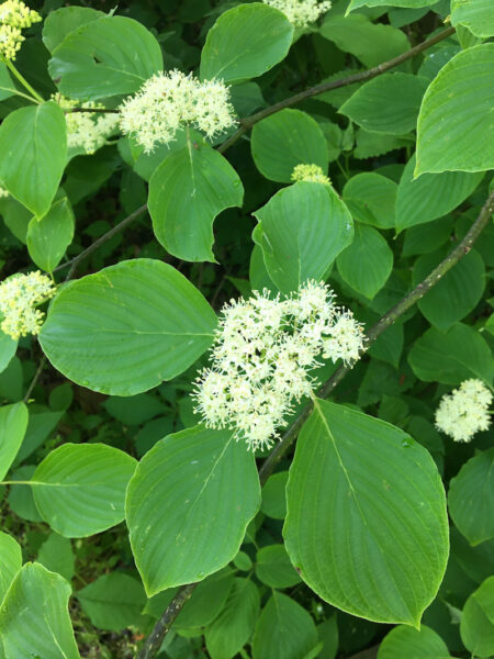 Cornus alternifolia Alternate Leaf Dogwood flowers closeup
