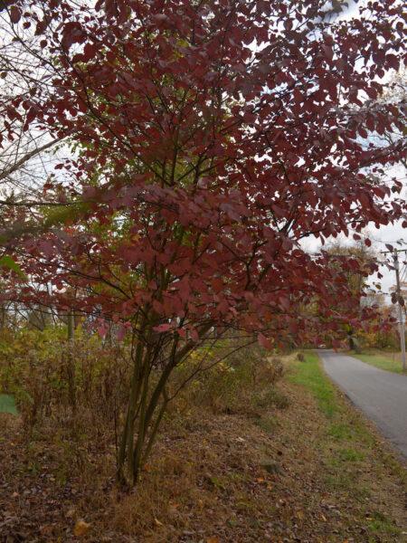Cornus alternifolia Alternate Leaf Dogwood autumn