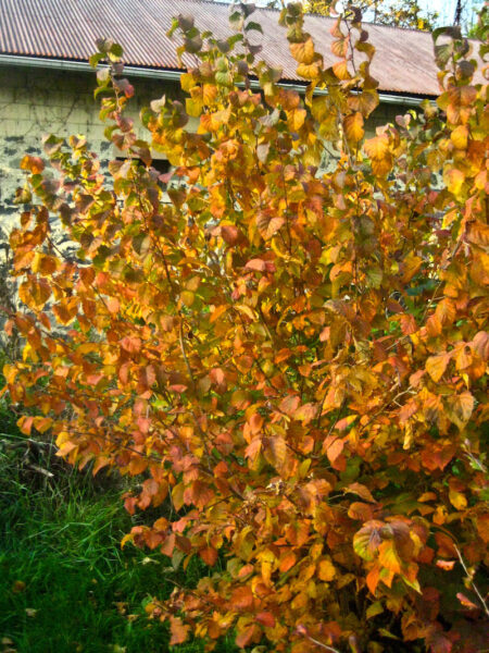 Corylus americana American Hazelnut autumn color