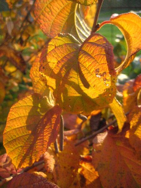Corylus americana American Hazelnut fall color