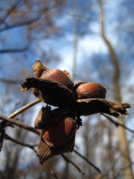 Corylus americana American Hazelnut fruit