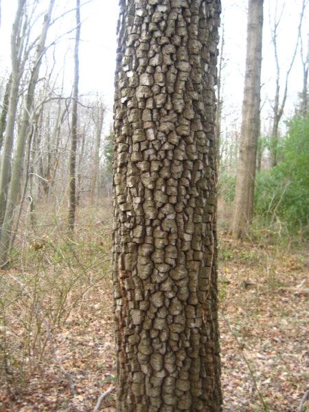 Diospyros virginiana American Persimmon bark