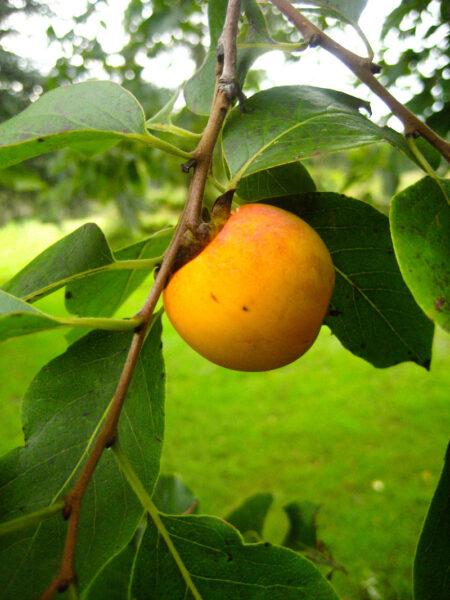Diospyros virginiana American Persimmon fruit