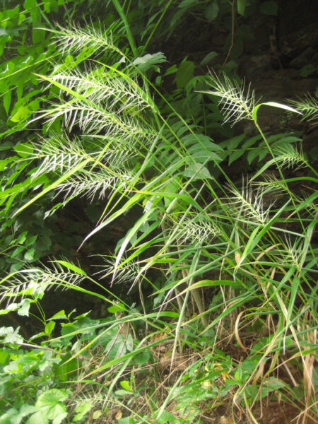 Elymus hystrix Bottlebrush Grass in seed