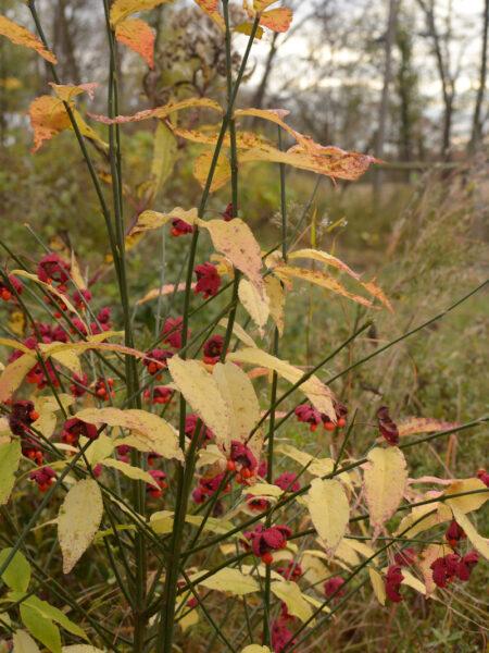 Euonymus americanus Hearts a Burstin autumn