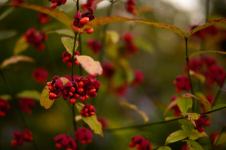 Euonymus americanus Hearts a Bustin fruit