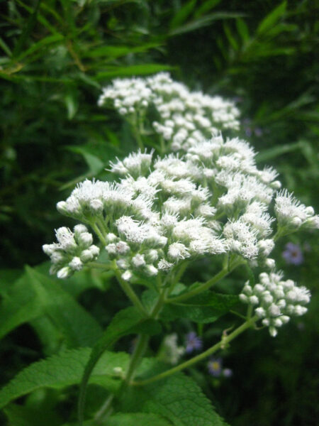 Eupatorium perfoliatum Boneset closeup of flowers