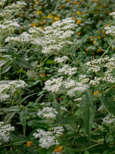 Eupatorium perfoliatum Boneset habit
