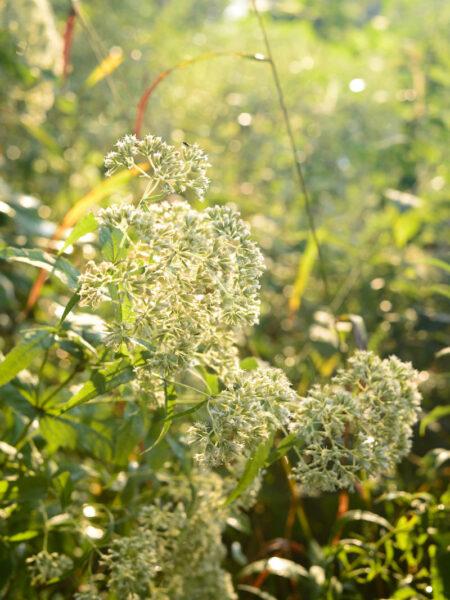Eupatorium sessilifolium Upland Boneset
