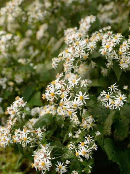 Eurybia divaricata White Wood Aster flower clusters
