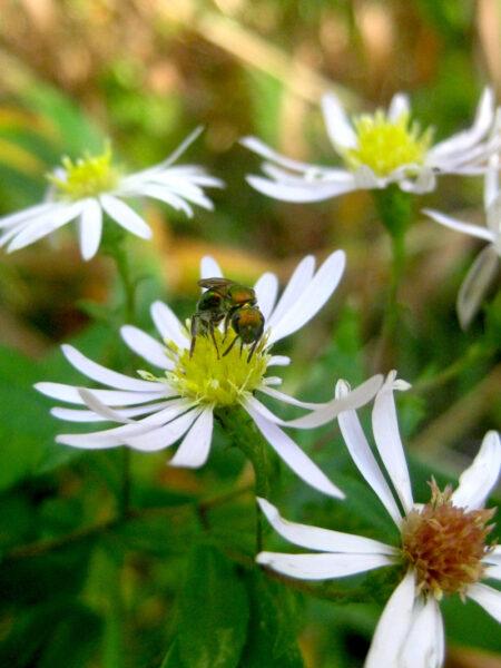 Eurybia divaricata White Wood Aster with pollinator