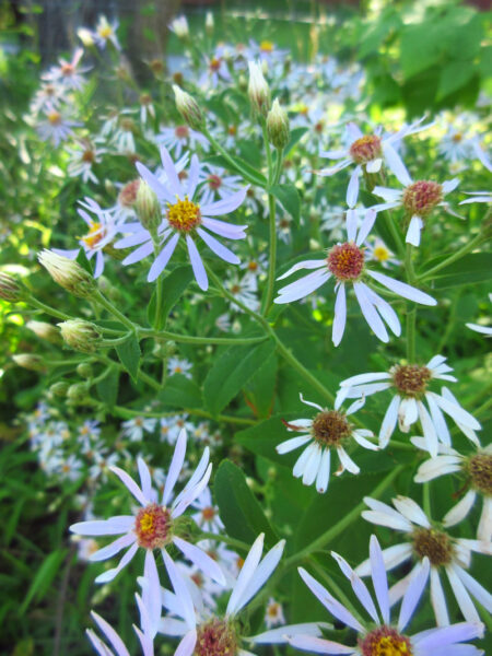 Eurybia macrophylla Bigleaf Aster in flower