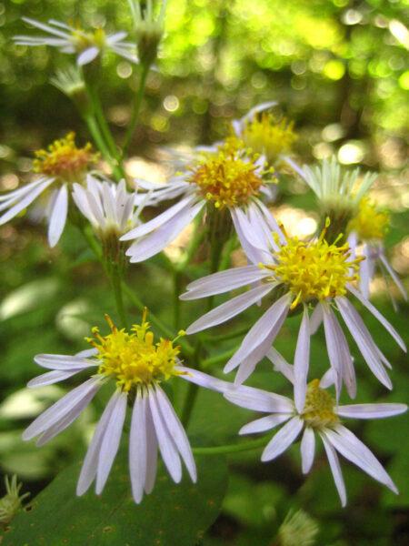 Eurybia macrophylla Bigleaf Aster flowering