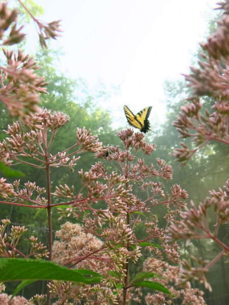 Eutrochium fistulosum Joe Pye Weed with Tiger Swallowtail