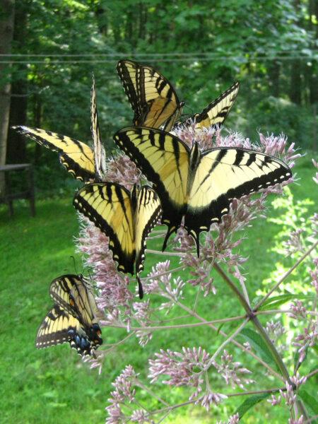 Eutrochium fistulosum Joe Pye with Tiger Swallowtail