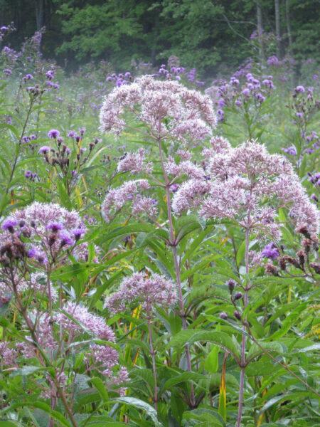 Eutrochium fistulosum Joe Pye Wild Ridge Plants Meadow