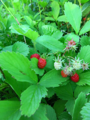 Fragaria virginiana Wild Strawberry in fruit